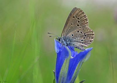 Gentiaanblauwtje (Foto: Roy Dear)